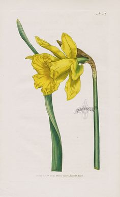 William Curtis Botanical Magazine Antique Prints 1787-1817, Great Daffodil