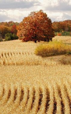 """I remember walking through cornfields when I was a child, crunching on dried leaves, taking in all of the autumn scents, watching as a pheasant flew out of the rows when startled...fond memories...."