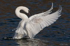 Trumpeter Swan by Rui Costa on 500px