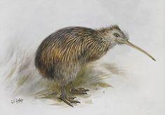 South Island Brown Kiwi - by George Lodge. Artprints available from… Bird Nests, Nz Art, Kiwiana, South Island, Bird Art, Spring 2014, Sketching, New Zealand, Fine Art Prints