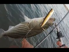 Topwater Striper Fishing April 2016 - YouTube