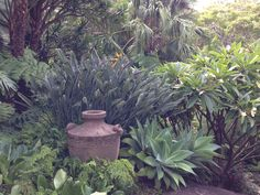 frangipani underplanted with succulents - Google Search