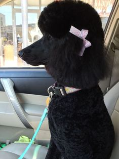 Poodle owners all over the world are coming up with new ways to make their pets beautiful. Take a look the best poodle haircuts for your friend. Puppy Obedience Training, Best Dog Training, Poodle Grooming, Dog Grooming, Poodle Haircut Styles, Poodle Cuts, Puppy Cut, Positive Dog Training, Dog Training Techniques