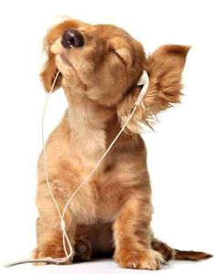 dog+lisning+to+music+head | Young puppy listening to music on a head set.