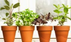 Brighten your windowsill—and supply your kitchen with fresh herbs—all year long with these indoor gardening tips. Whether you want a hanging indoor herb garden or kitchen herb garden, we'll take you how to grow these herbs year-round. Herb Garden In Kitchen, Kitchen Herbs, Organic Gardening, Gardening Tips, Indoor Gardening, Culture D'herbes, Types Of Herbs, Herbs Indoors, Luz Natural