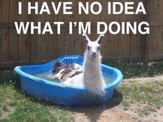 llama in a baby pool. I'm getting two pools for each one of my llama. Alpacas, Farm Animals, Animals And Pets, Funny Animals, Cute Animals, Animal Funnies, Talking Animals, Animal Captions, Baby Pool