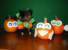 Halloween has now passed and all over the world cat owners are uploading their photos of their cats dressed as pumpkins. A Pumpkin, Pumpkin Carving, Cat Dressed Up, World Cat, Pumpkin Costume, Cat Dresses, Halloween Cat, Holidays And Events, Cute Animals
