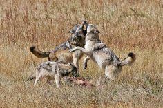 Yellowstone Wolf by sheltie_man, via Flickr