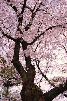 sakura in Tokyo, Japan Beautiful World, Beautiful Places, Beautiful Pictures, Ikebana, Goldfish Pond, Cherry Blossom Tree, Cherry Tree, Flowering Trees, Amazing Flowers