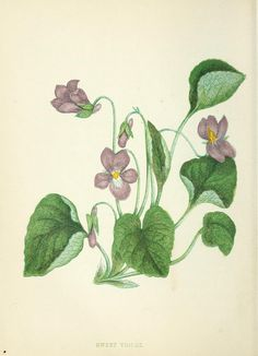 Sweet Violet botanical