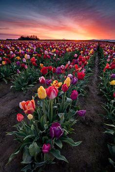 Tulip field in Woodburn, Oregon, about 15 miles from Portland by Deej6