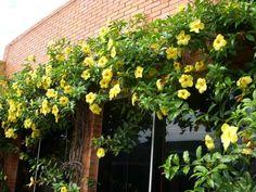 Trepadeiras. Alamanda amarela (Allamanda cathartica L.).  Fotografia: Matilde Terra2012 no Flickr.