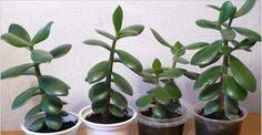 Když pěstujete tuto rostlinu, určitě si ji z bytu nedávejte pryč a rozmnožte si ji. Když uvidíte, jaké má využití, budete ji hlídat jako oko v hlavě! | - Part 3