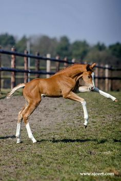 Gorgeous Dutch Warmblood filly with lots of chrome. Baby Horses, Cute Horses, Pretty Horses, Horse Love, Beautiful Horses, Cute Baby Animals, Funny Animals, Hunter Horse, Dutch Warmblood