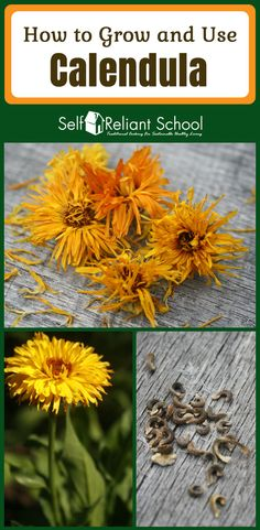 This bright and beautiful flower graces many gardens, but few know how amazing this simply gorgeous flower is. Calendula does not just brighten your garden, it is beneficial for both health and beauty. #beselfreliant via @sreliantschool