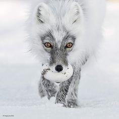 Arctic fox carrying a goose egg  : NatureIsFuckingLit