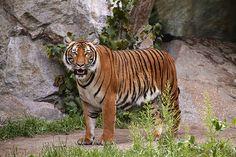 Tiger - http://www.1pic4u.com/blog/2014/12/01/tiger-106/