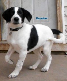 Petango.com – Meet Scooter, a 3 months 24 days Pointer / Border Collie available for adoption in Oskaloosa, IA
