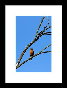 American Robin Perching Framed Print by Christina Rollo. All framed prints are professionally printed, framed, assembled, and shipped within 3 - 4 business days and delivered ready-to-hang on your wall. Choose from multiple print sizes and hundreds of frame and mat options. Art Prints Online, Online Art, Framed Art Prints, Fine Art Prints, American Robin, Affordable Art, Frame Shop, Great Artists, Buy Art