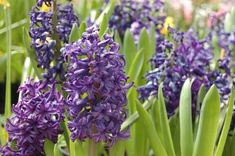 Spring blooming plants are the stars of the garden after a long and cold winter. These plants are my 22 top picks for early spring flowers. Spring Flowering Bulbs, Spring Bulbs, Blooming Plants, Planting Vegetables, Planting Seeds, Planting Flowers, Big Plants, Fall Plants, Hyacinth Flowers