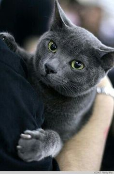 If you are looking for a truly unique and beautiful kitten you don't have to look much further than the Russian Blue breed. Delightful Discover The Russian Blue Cats Ideas. Grey Cats, White Cats, Blue Cats, Chartreux Cat, Nebelung, Cool Cats, I Love Cats, Kittens Cutest, Cats And Kittens