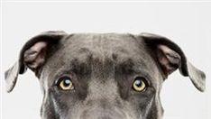 enfermedades oculares en perros
