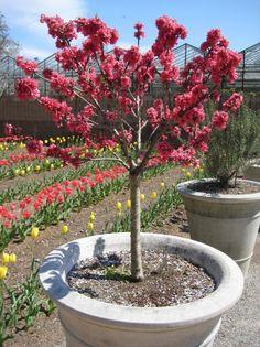 'Bonanza' dwarf peach tree