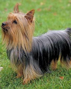 Australian Silky Terrier  Origin- Australia KC- Toy AKC- Toy