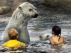 On my bucket list: Swimming with polar bears at Cochrane Polar Bear Habitat in Ontario!!