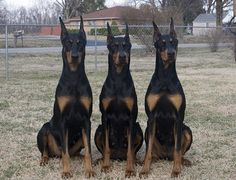 .A brace of Dobermans...what a HUGE difference the correct ear crop can make!