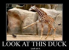 It's a duck, a what? A duck!