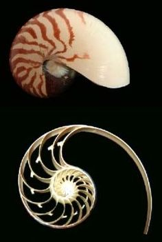 The golden ratio inside a Nautilus Shell - a perfect example of the logarithmic spiral in nature.