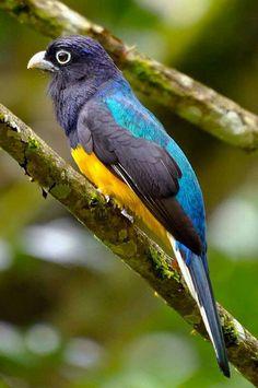 Trogon violáceus by Eu amo pássaros