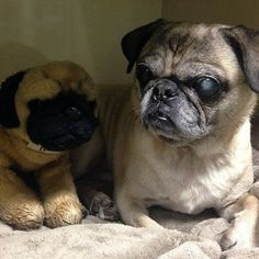 Puccini and his plush #pug pal (possibly also named Puccini) snuggled up for dinner/nap time this evening   #fitdogsportsclub