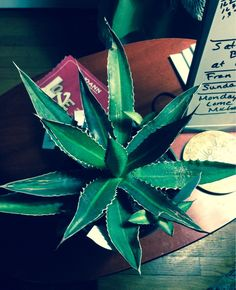 Center Stripe Agave  Thorncrested Agave - http://www.gardenanswers.com/succulents/center-stripe-agave-thorncrested-agave/