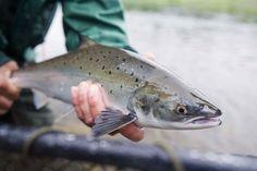 Top 10 Canada Atlantic Salmon Dry Flies - Miramichi River, New . New Brunswick Canada, Vintage Fishing Lures, Atlantic Salmon, Salmon Fishing, Gone Fishing, Acrylics, River, Pictures, Top