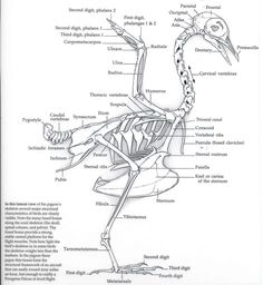 golden eagle skeleton diagram totaline thermostat wiring 70 best skeletons images taxidermy animal anatomy skull
