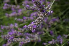 The Modern Trobadors: LAVENDER-- A FLOWER ROOTED IN SUN-DRENCHED PROVENCE