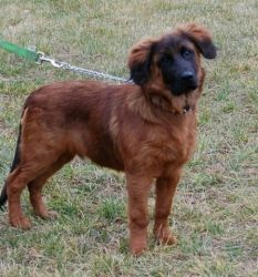 Sy is an adoptable Leonberger Dog in Valparaiso, IN. Meet Sy! Sy is a 5 month old Leonberger that came in as a stray to a local shelter. Sy seems to be house trained and knows some basic commands. H...