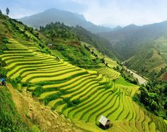 Paddy Fields, Vietnam. This terraced land is built into hillsides and used to farm and cultivate semiaquatic rice.