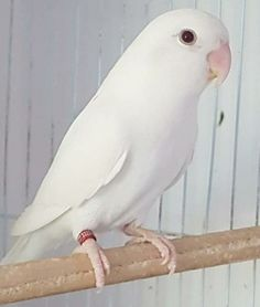 Love Birds Pet, Cute Birds, Pretty Birds, Little Birds, Beautiful Birds, Animals Beautiful, Wild Animals Pictures, Bird Pictures, Colorful Parrots