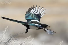Magpie in flight - showing its black feathers are actually iridescent.