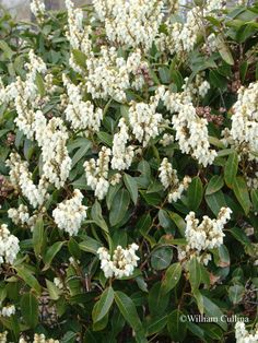 Pieris floribunda (Mountain Pieris) - Native to the east coast, this small evergreen shrub is hardy through at least zone 5.  It will grow 4'-6' tall and wide and has lustrous dark green leaves and flowers abundantly (hence its botanical name) with spikes of fragrant white blooms in April.  Does best in partial shade as it's not suited for very sunny locations.  Otherwise, has similar growing needs as rhodies.