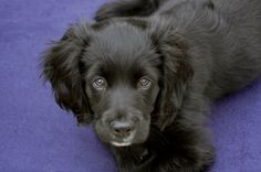 9 week old Cavapoo puppy Rusty Christmas Victoria Wade