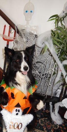 """""""Connie...I don't want to go to The Monster Mash Ball this Halloween"""" says Asha the border collie not wanting to end up in a Pumpkin Pie"""