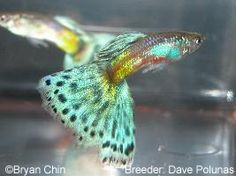 From the Chicago guppy breeders club some information on classifying show guppies. Guppy bronze on gold bodycolour.