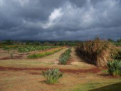 Dole Pineapple Plantation HI