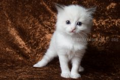 5 Week oud. Ragdoll Lady Sif, Cats, Animals, Gatos, Animales, Kitty Cats, Animaux, Animal Memes, Cat Breeds