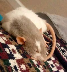 First night with new ratties #aww #cute #rat #cuterats #ratsofpinterest #cuddle #fluffy #animals #pets #bestfriend #ittssofluffy #boopthesnoot