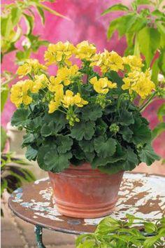 3 géraniums jaunes en ligne (pelargonium zonale 'french vanilla'®) - Willemse